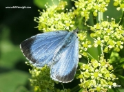 Holly Blue butterfly (Celastrina argiolus) female first generation