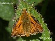 Large Skipper butterfly (Ochlodes faunus)