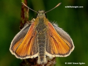 Small Skipper (Thymelicus sylvestris) male