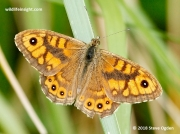 Wall Brown butterfly (Lasiommata megera) male