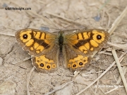Male Wall Brown butterfly (Lasiommata megera)  © 2010 Steve Ogden
