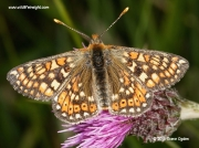 Marsh Fritillary (Euphydryas aurinia)  on knapweed