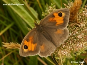 Meadow Brown butterfly (Maniola jurtina) female nectaring on Umbelliferae flower ©  2014 Steve Ogden