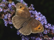 Meadow Brown butterfly (Maniola jurtina) male nectaring on buddleia ©  2014 Steve Ogden