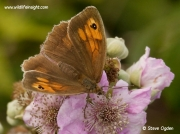 Meadow Brown butterfly (Maniola jurtina)  nectaring on blackberry flower ©  2014 Steve Ogden