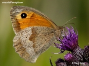 Meadow Brown butterfly (Maniola jurtina) showing underside while nectaring on knapweed flower ©  2014 Steve Ogden