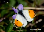 Orange-tip Butterfly (Anthocharis cardamines) male nectaring on violets © 2010 Steve Ogden