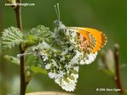 Orange-tip Butterfly mating pair  (Anthocharis cardamines) © 2006 Steve Ogden