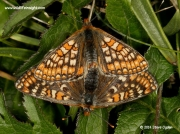 Mating pair of Marsh Fritillary butterflies