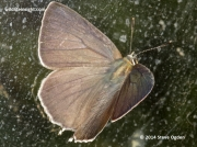Purple Hairstreak  (Neozephyrus quercus) female