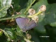 Male Purple Hairstreak butterfly  (Neozephyrus quercus)