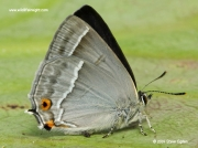 Purple Hairstreak butterfly (Neozephyrus quercus) female