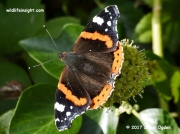 Red Admiral butterfly (Vanessa atalanta) nectaring on ivy Cornwall © 2017 Steve Ogden