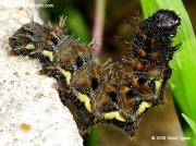 Red Admiral caterpillar Vanessa atalanta photo Steve Ogden