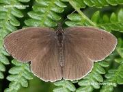 Ringlet (Aphantopus hyperantus) male