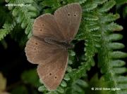 Ringlet  (Aphantopus hyperantus) female