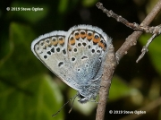 Silver-studded-Blue-butterfly-Plebejus-argus-1645