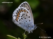 Silver-studded Blue-Plebejus argus