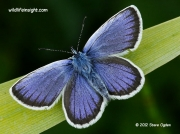 Silver-studded Blue butterfly (Plebeius argus) male