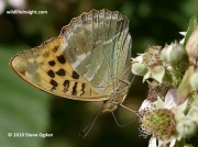 Silver-washed Fritillary (Argynnis paphia) underside
