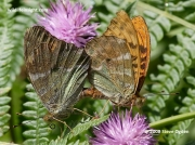 Silver-washed Fritillary (Argynnis paphia) mating pair