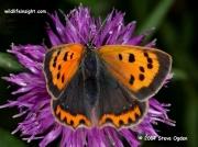 Small Copper Butterfly (Lycaena phlaeas) form caeruleopunctata