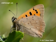 Small Copper Butterfly (Lycaena phlaeas) underwing