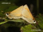 Small Skipper (Thymelicus sylvestris) pair
