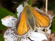 Small Skipper (Thymelicus sylvestris) female