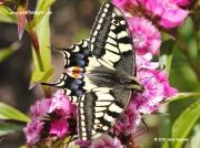 Swallowtail Butterfly (Papilio machaon britannicus ) Norfolk © 2014 Dave Spencer