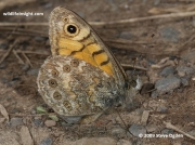 Wall Brown  butterfly underside  (Lasiommata megera)