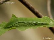 Brimstone Butterfly caterpillar (Gonepteryx rhamni)
