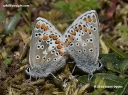 Brown Argus Butterfly (Plebejus argus) pair Penhale Sands, Cornwall