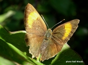 Brown-Hairstreak-butterfly-Thecla betulae-2442