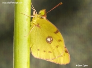 Clouded Yellow butterfly (Colias croceus) - freshly emerged