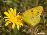 Clouded Yellow Butterfly (Colias croceus) nectaring on 'yellow composite'