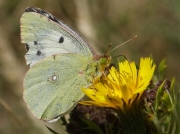 Clouded Yellow Butterfly (Colias croceus) helice female form