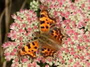 Comma butterfly (Polygonia c-album) - nectaring on sedum