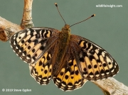 Dark Green Fritillary (Argynnis aglaja) female