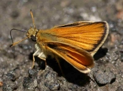 Essex-Skipper-butterfly-Thymelicus-lineola-male - recorded in Spain © P Browning