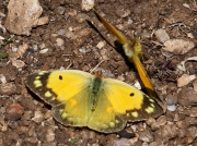 Female clouded yellow butterfly (Colias croceus) with courting male