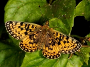 Female Small Pearl-bordered Fritillary (Boloria selene)