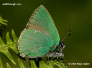 Green-Hairstreak-butterfly-Callophrys-rubi-6057