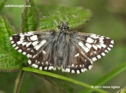 Taras aberration of Grizzled Skipper butterfly (Pyrgus malvae)
