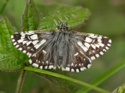 Grizzled Skipper butterfly (Pyrgus malvae) - ab. taras