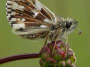 Grizzled Skipper (Pyrgus malvae) - male on Salad Burnet (Sanguisorba minor subsp. minor)