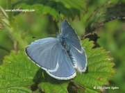Holly Blue butterfly male (Celastrina argiolus) © 2011 Claire Ogden