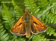 Large-Skipper-butterfly-Ochlodes-faunus-0070