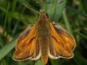 Large Skipper (Ochlodes faunus) butterfly - male