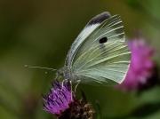 Large White butterfly (Pieris brassicae) underside